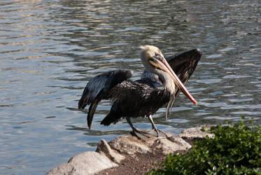 Pelican preening San Fran 2012 by hotwiar