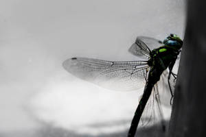 Dragonfly by moen14