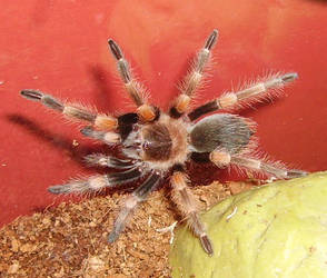 Boris the Spider by Spiddles