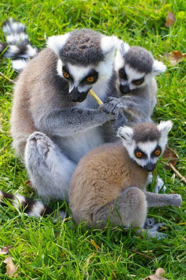 Ring-Tailed Lemur #1 by emilybee