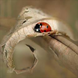 Ladybug_2 by Zoralysell