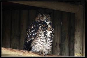 Kenyan Eagle Owl by Xeno834