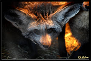 Bat-Eared Fox by Xeno834