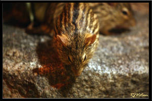 Striped Grass Mouse by Xeno834