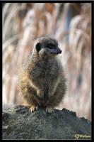 Meerkat by Xeno834