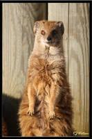 Yellow Mongoose by Xeno834