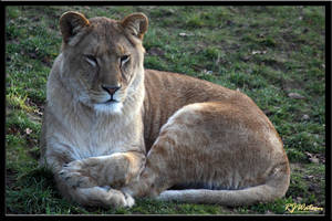Lioness by Xeno834