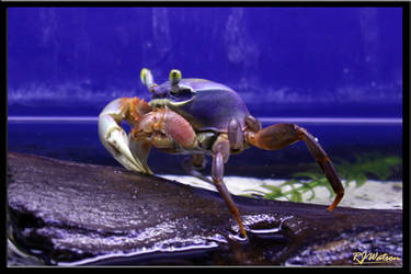 Rainbow Crab by Xeno834