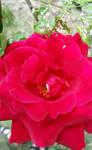 Ros.e by medicinearrow