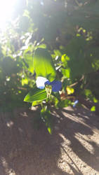 Commelina communis by medicinearrow