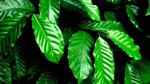 My coffee plant by aashiks
