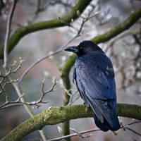 Dazzling Crow by fr31g31st