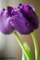 Purple Tulips by poetcrystaldawn