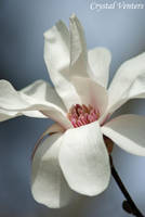 Royal Star Magnolia by poetcrystaldawn