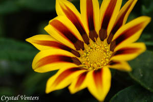 Yellow Gazania Daisy by poetcrystaldawn