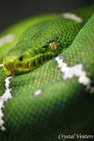 Green Tree Python 2 by poetcrystaldawn