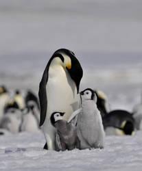 Penguins, Antarctic by laogephoto