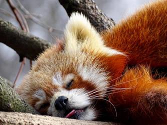red panda by AnNacht