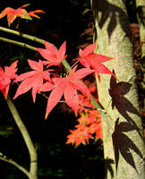 Red Leaves and Shaddows by jemmans