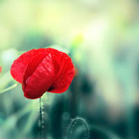 portrait of a poppy by mebilia