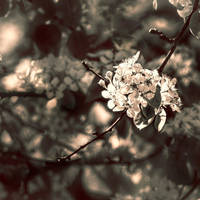 almond blossoms by mebilia