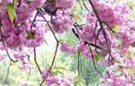 Sakura Blossoms 3 by DuetMaxwell