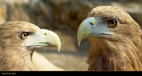Eagles by SouLitta
