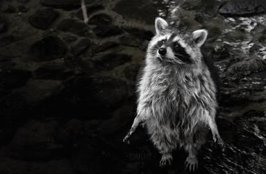 0052 - Raccoon by Asralores-photos