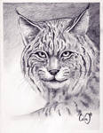 bobcat by callinitlikeitis