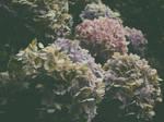 endless summer: hydrangeas by snusmumrikenn
