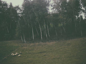 sheep and birches by snusmumrikenn