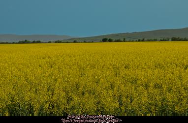 Yellow flower field  by Miha3lla by Miha3lla