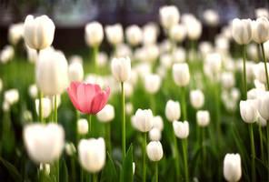 Tulips by erynrandir