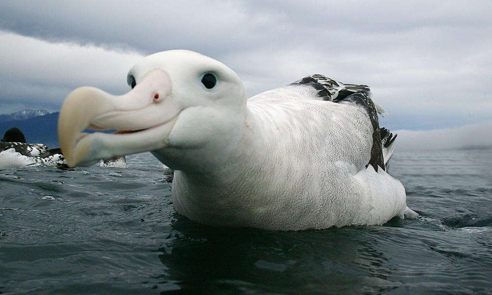 wandering albatross (c) naturepl.com Barry Bland W by Sokolva