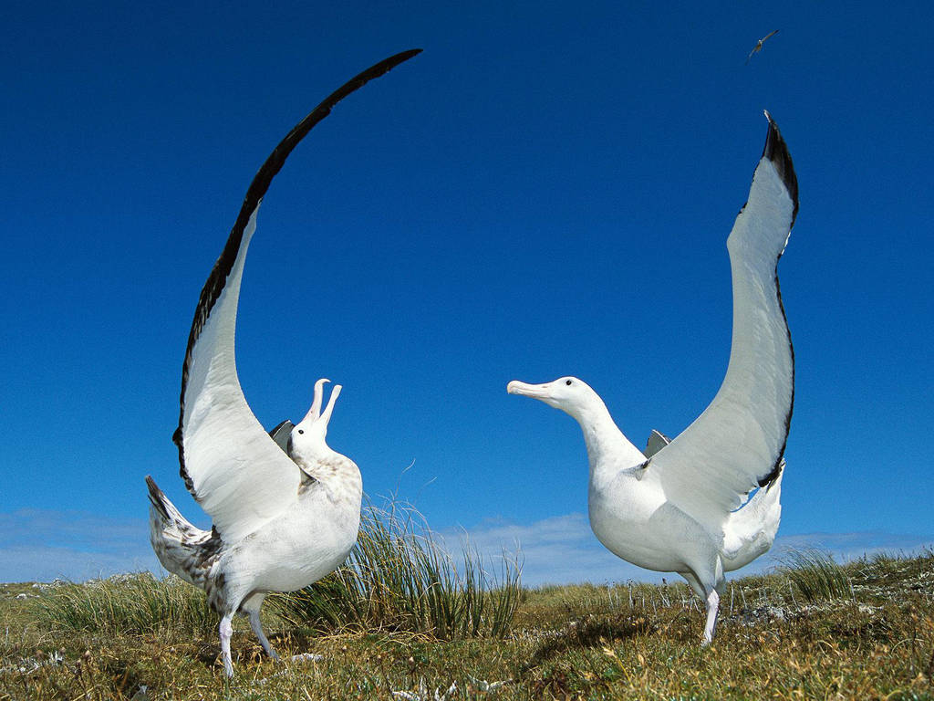 Albatros-errante by Sokolva