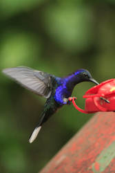 Violet Sabrewing Hummingbird by XylidineGriffin