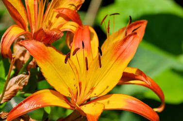 Big Bold Lilies by JamDebris