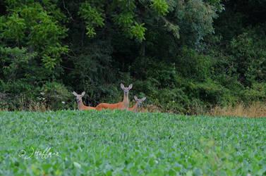 3 Deer Looking by JamDebris