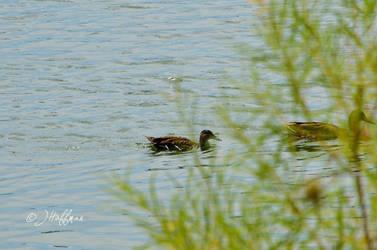 Little Duck by JamDebris