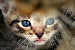Blue eyes by shimahi