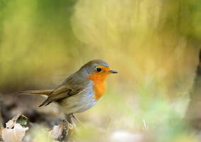 Robin by corsuse