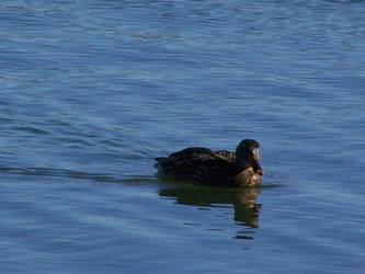 duck one by dauntiemagic
