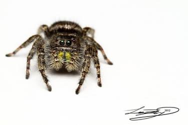 Classic Jumping Spider by ForsakenRaptor
