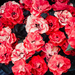 Much Rose by pagit