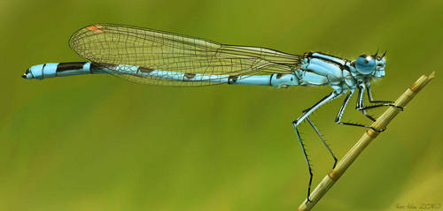 Common Blue Damselfly by Abiogenisis