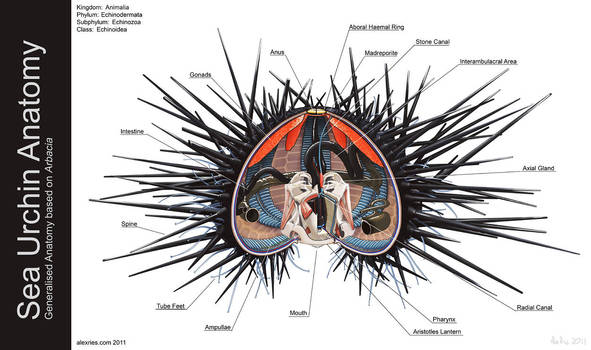 Sea Urchin Anatomy by Abiogenisis