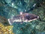 giant dog-eating catfish by TreborNehoc