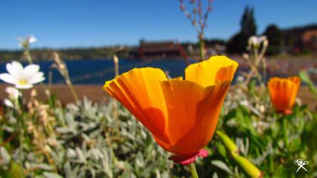 A Poppy in Frutillar by REGGDIS