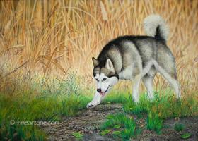 alaskan malamute - Portrait of my own dog by Haruinu