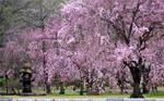 Sakura Blossom Desktop by omisgirl